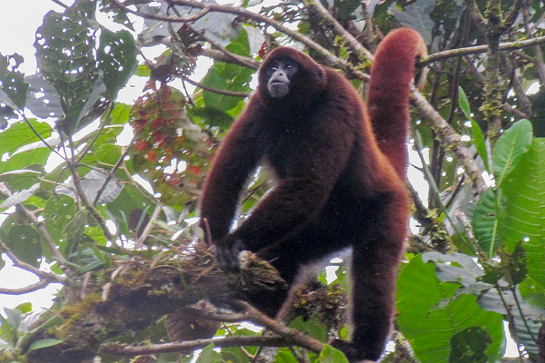 https://apenheul.com/nature-conservation/apct-projects/yellow-tailed-woolly-monkey-project